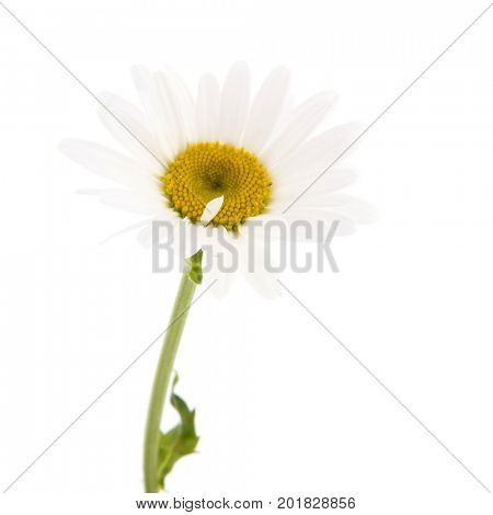 Single white daisy flower isolated over white background