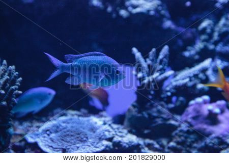 Blue Green Vanderbilts Chomis Fish, Chromis Vanderbilti