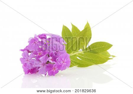 Purple Phlox flowers isolated over white background