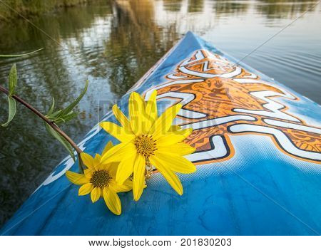 Fort Collins, CO, USA - August 28, 2017: Late summer paddling on a lake in Colorado - a bow of racing stand up paddleboard by Starboard with the tiki logo and yellow sunflower.
