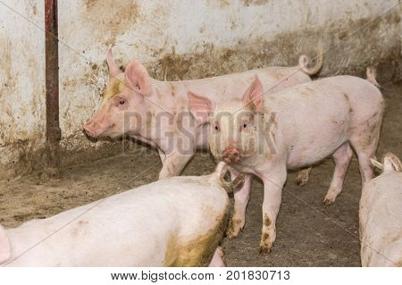 Young Piglets At A Pig Farm In The Countryside