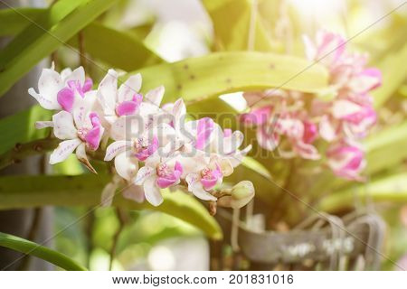 Orchid flower in the garden at winter or spring day for postcard beauty agriculture idea concept design. Rhynchostylis orchid is a genus in the orchid family (Orchidaceae)