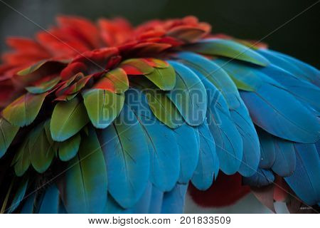 Green-winged macaw (Ara chloropterus), also known as the red-and-green macaw. Plumage texture.