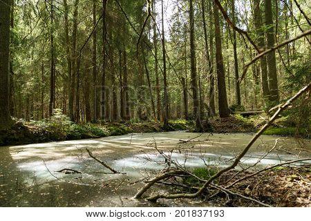 Springtime alder bog forest with standing water.