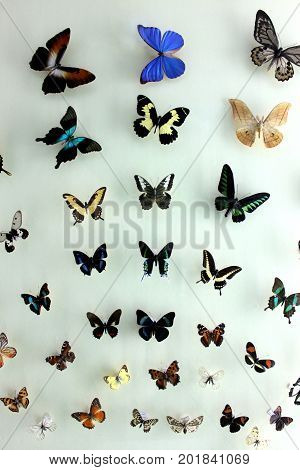 The Colorful Butterflies Specimen With Different Species