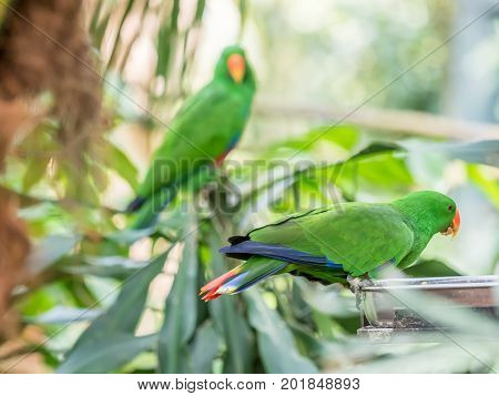 Green Indian Ringneck Parakeet, Colorful Parrot in the Bird Park