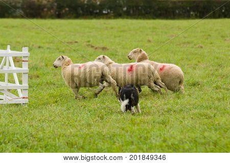 Welsh border collie sheepdog rounding up sheep at a farm sheep dog trials