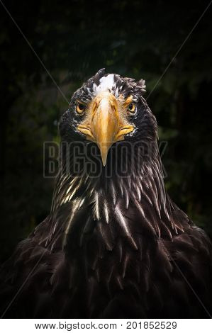 Predator eagle in full face. Self-confidence and purposefulness. Singleness and ready for war