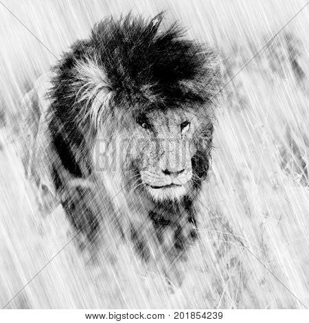 Digital illustration of an adult male lion emerging from long grass. Graphite pencil sketch style.