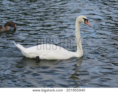 Mute Swan Floating Along On River