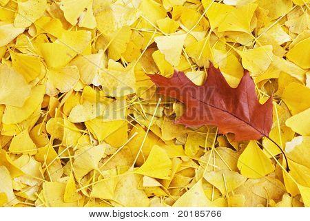 Single red oak leaf lying on top of fallen yellow ginkgo leaves. poster
