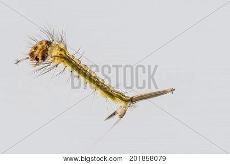 Macro of underwater mosquito larva on plain background