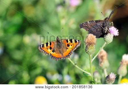 Butterfly Small Tortoiseshell. The small tortoiseshell is a colourful Eurasian butterfly in the family Nymphalidae. Aglais io, European peacock butterfly.