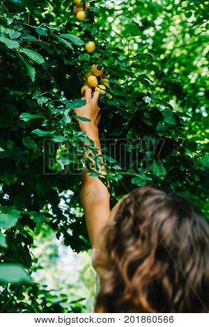 Anonymous girl outstretching hand and picking yellow plums from tree in summer.
