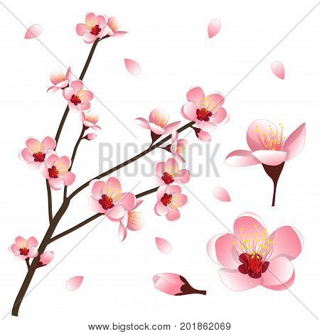 Prunus persica - Peach Flower Blossom. Vector Illustration. isolated on white Background.