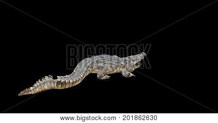 Closeup Aggressive Crocodile Isolated on Black Background Clipping Path