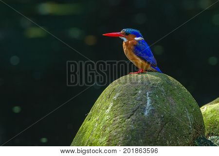 Bird African Pygmy Kingfisher