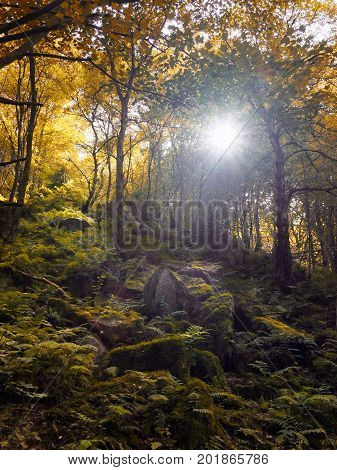 Autumn woodland with the sun shining though trees with golden leaves and a rocky valley landscape with moss and ferns