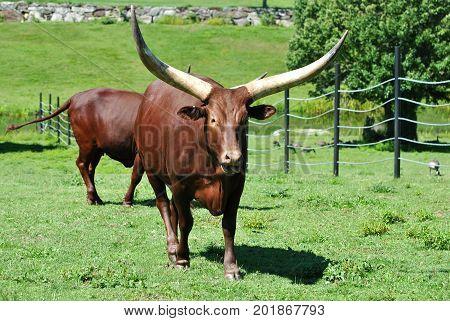 Brown Long Horn Bull in a Grassy Field