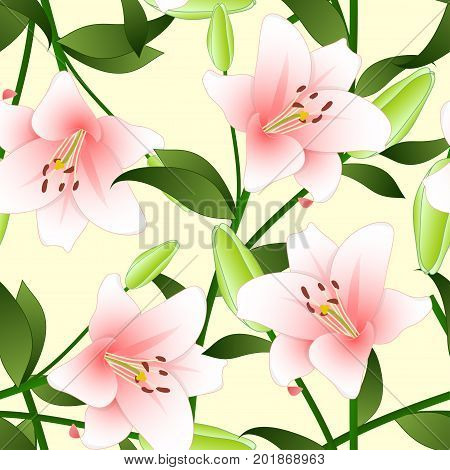Lilium candidum, the Madonna lily or Pink Lily on Beige Ivory Background. Vector Illustration.
