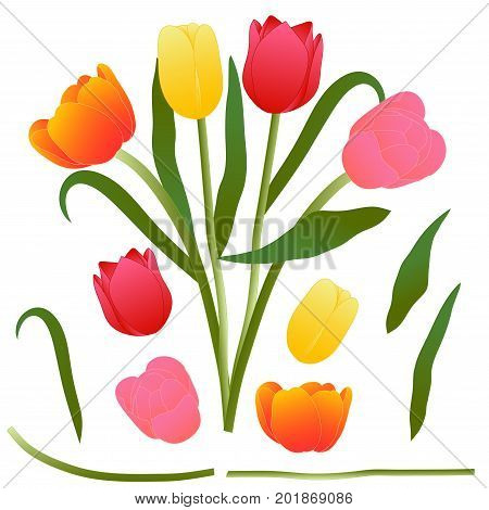 Colorful Bouquet Tulip. Vector Illustration. Isolated on White Background.