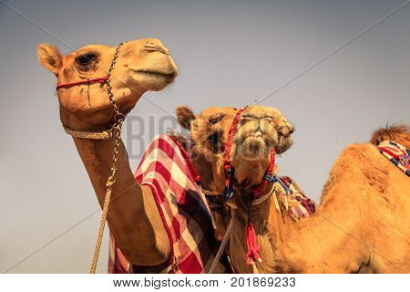 Racing camels at Dubai Camel Racing Club, UAE