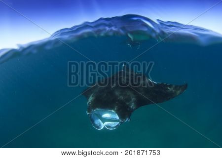 Manta Ray over under split photo ocean and blue sky