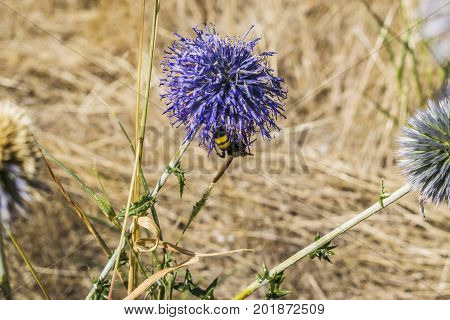 The Bee Sat Down On A Purple Flower And Drinks Nectar.