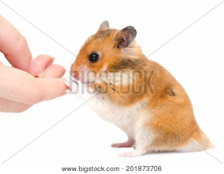 Cute Syrian hamster sitting on its hind legs and holding a human finger (isolated on white) selective focus on the hamster paw and human finger
