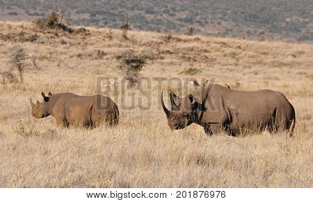 Two white rhinos in a grass landscape