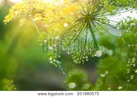 green umbrella of fennel inflorescence close up