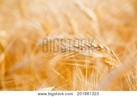 Picture of rye field in summer afternoon