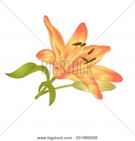 Yellow Lily Lilium candidum a flower with leaves and bud on a white background vector illustration editable Hand drawn
