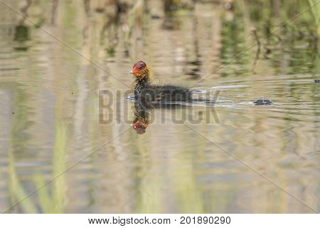 A Coot, Juvenile, Swimming On A Loch