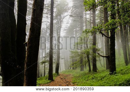 The forest trails. Trail through the Naini peak forest at Nainital.