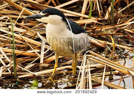 A Black Crown Night Heron Walking Along Dried Reeds