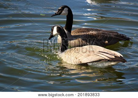 A Pair Of Canadian Geese Washing Themselves In Water