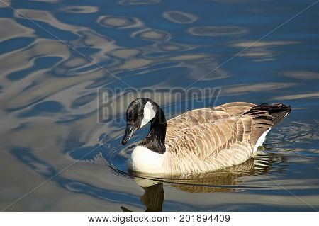 A Canada Goose Swimming Amongst Rippled Water