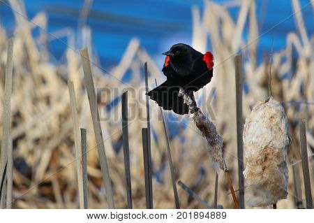 Red Winged Blackbird Sitting On A Dried Cattail With A Blue Background