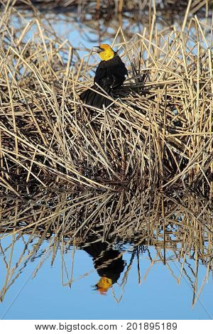 A Yellow Headed Blackbird With It's Reflection In Calm Water
