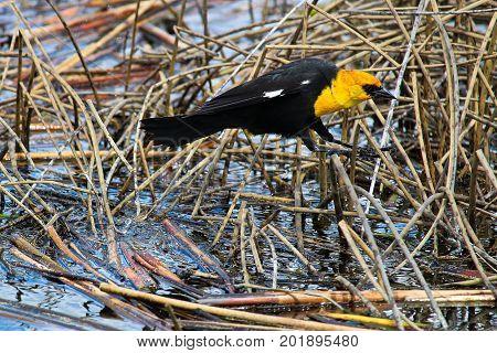 A Male Yellow Headed Blackbird Jumping Between Reeds