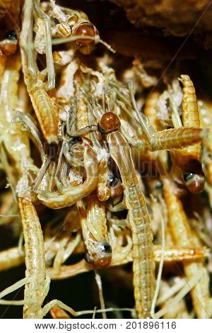 Macro View Of Praying Mantis Nymphs As They Hatch