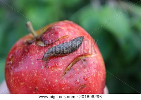 A Slug Crawling on an Overripe Bruised Apple.
