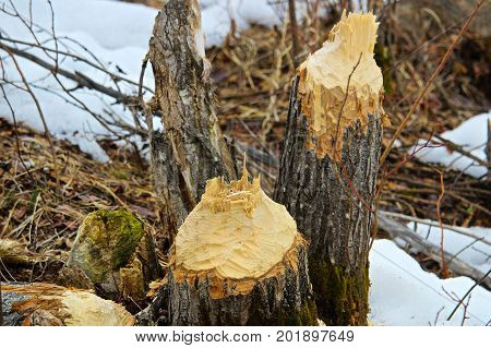 Two Trees Felled By Beavers With Snow In The Background