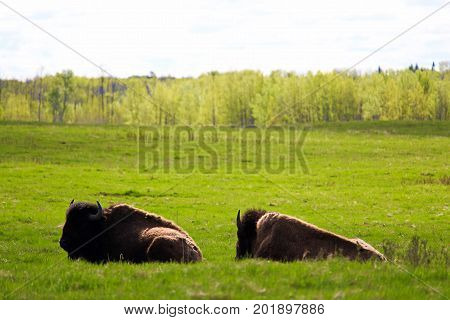 Two Bison Resting In Elk Island National Park Alberta Canada