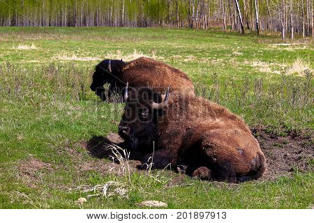A Bison Sitting In A Wallow Pit