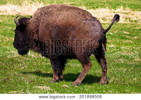 A woods bison having a pee with a grass background
