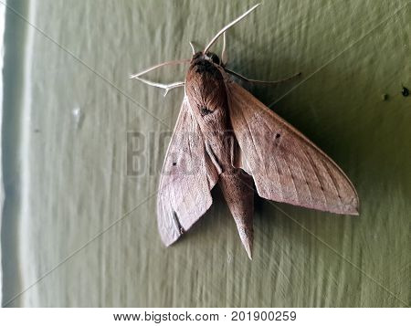 Moth isolated on white background macro animalBritish insect in the family Noctuidae the largest British family moths in the order Lepidoptera