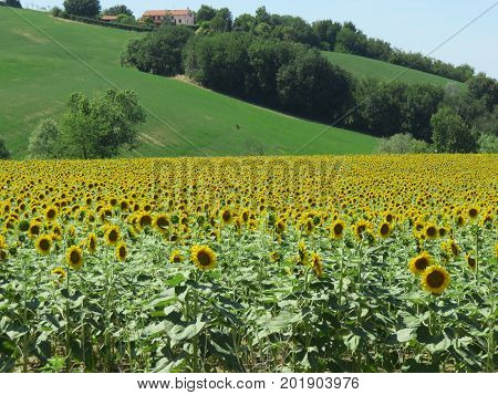 Sunflowers a beautiful field of flowers useful and gorgeous from its seeds to its oil