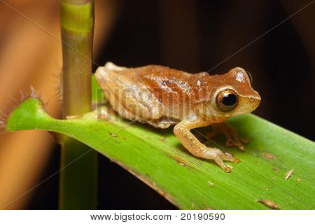 tree frog in Brazil tropical amazon rain forest beautiful night animal and endangered amphibian green frog nocturnal species on grass leaf in dark jungle small treefrog macro